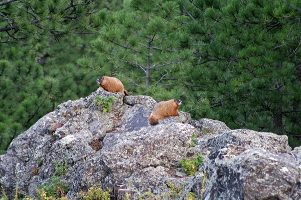 2 Marmot in Custer State Park