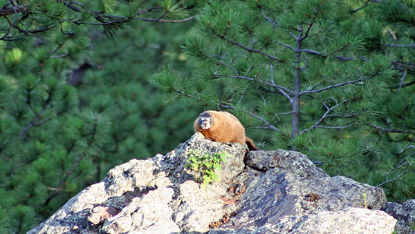 Marmot in Custer State Park