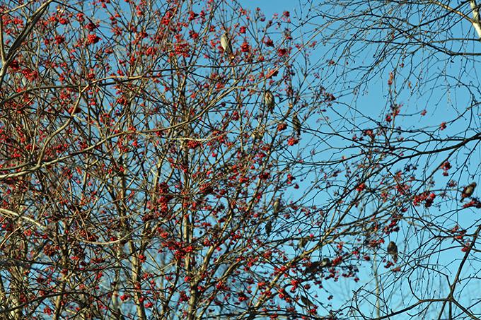 ein Baum voller Seidenschwänze