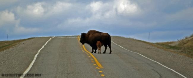 Buffalo with calv