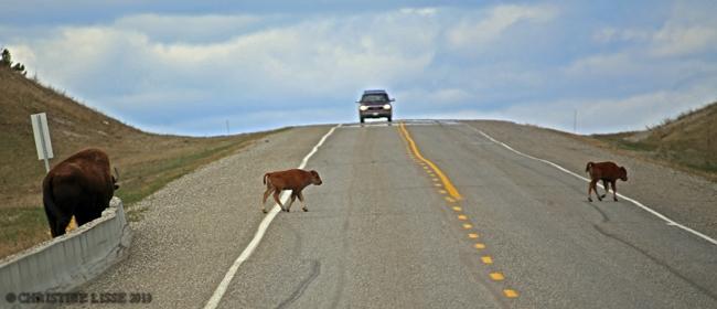 Buffalo calv